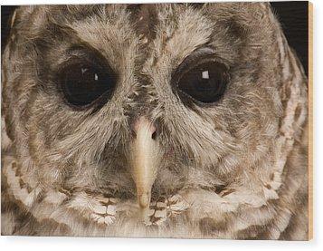 A Portrait Of A Barred Owl Strix Varia Wood Print by Joel Sartore