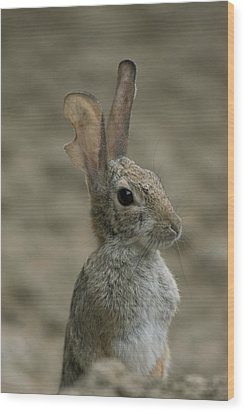 A Rabbit From The Omaha Zoo Wood Print by Joel Sartore