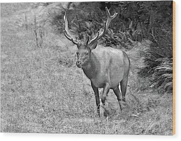 A Rack Of Antlers - Roosevelt Elk - Olympic National Park Wa Wood Print by Christine Till