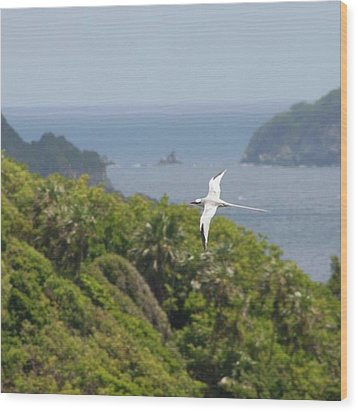 A Red-billed Tropicbird (phaethon Wood Print by John Edwards