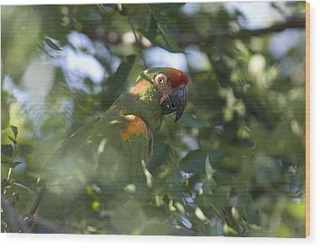 A Red-fronted Macaw At The Sedgwick Wood Print by Joel Sartore