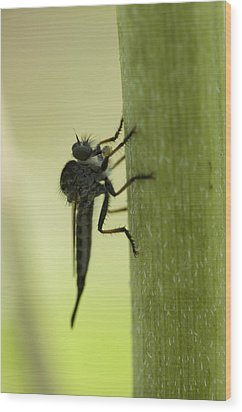 A Robber Fly Asilidae Rests On A Leaf Wood Print by Joel Sartore