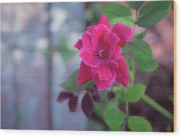 A Rose And A Hard Place Wood Print by Stefanie Silva