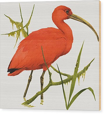 A Scarlet Ibis From South America Wood Print