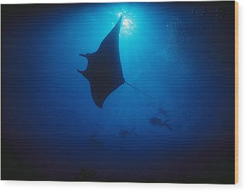 A Silhouetted Manta Ray Swims In Deep Wood Print by Raul Touzon