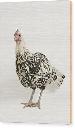 A Silver Spangled Hamburg Chicken Wood Print by Joel Sartore