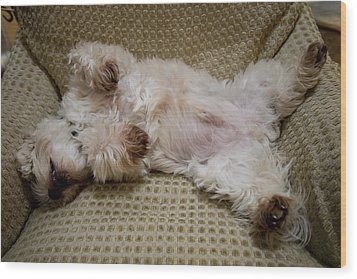 A Sleeping Maltese Dog Lies In Awkward Wood Print by Stephen St. John
