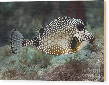 A Spotted Trunkfish, Key Largo, Florida Wood Print by Terry Moore