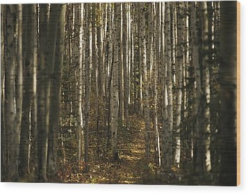 A Stand Of Birch Trees Show Wood Print by Raymond Gehman