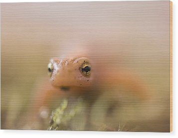 A Striped Newt Notophthalmus Wood Print by Joel Sartore