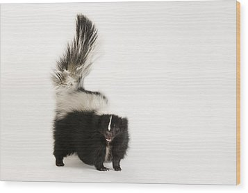 A Striped Skunk, Mephitis Mephitis Wood Print by Joel Sartore