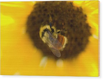 A Sunflower And Bumble Bee In Eastern Wood Print by Joel Sartore