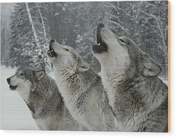 A Trio Of Gray Wolves, Canis Lupus Wood Print by Jim And Jamie Dutcher