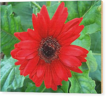 Wood Print featuring the photograph A True Red by Sandi OReilly