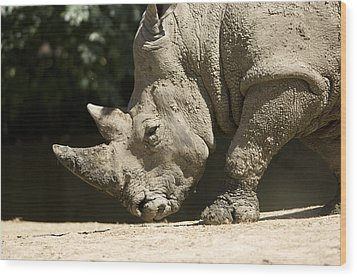 A White Rhino Sniffs The Dust Wood Print by Joel Sartore