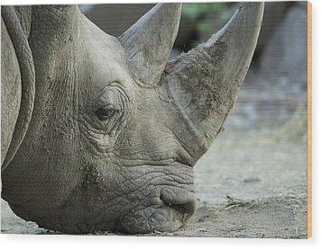 A White Rhino Sniffs The Muddy Ground Wood Print by Joel Sartore