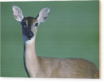 A White-tailed Deer On The Prairie Wood Print by Joel Sartore