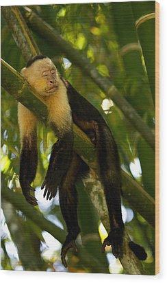 A White-throated Capuchin Monkey Wood Print by Roy Toft
