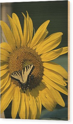 A Yellow Swallowtail Wood Print by Taylor S. Kennedy