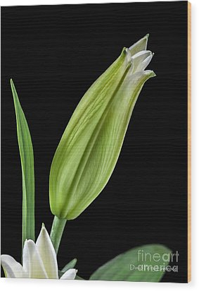 White Oriental Lily About To Bloom Wood Print by David Perry Lawrence