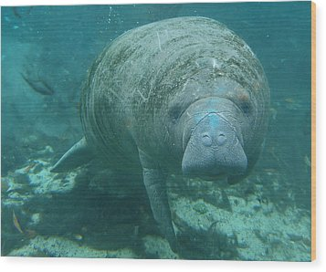 About To Meet A Manatee Wood Print by Kimberly Mohlenhoff
