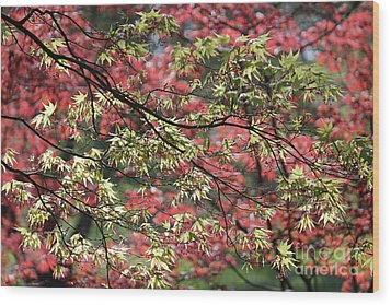 Acer Leaves In Spring Wood Print