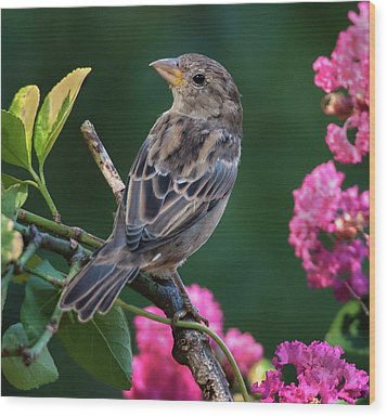 Adorable House Finch Wood Print
