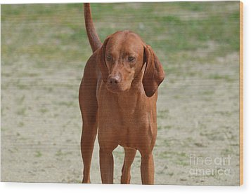 Adorable Redbone Coonhound Standing Alone Wood Print by DejaVu Designs