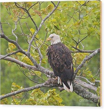 Adult Bald Eagle Wood Print by Debbie Stahre