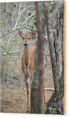 Africa Safari Bushbuck 2 Wood Print