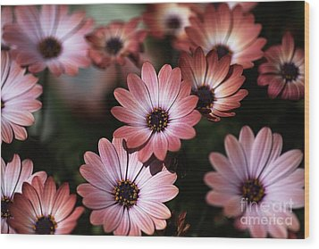 African Daisy Zion Red Wood Print by Joy Watson