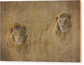 African Lion Brothers Wood Print