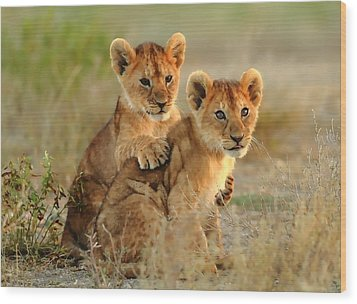 African Lion Cubs Wood Print