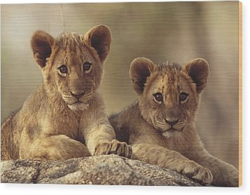 African Lion Cubs Resting On A Rock Wood Print by Tim Fitzharris