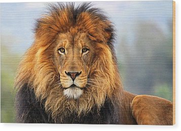 African Lion 1 Wood Print