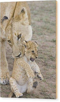 African Lion Mother Picking Up Cub Wood Print by Suzi Eszterhas