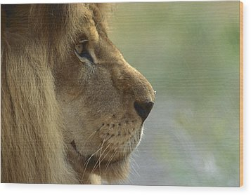 African Lion Panthera Leo Male Portrait Wood Print by Zssd