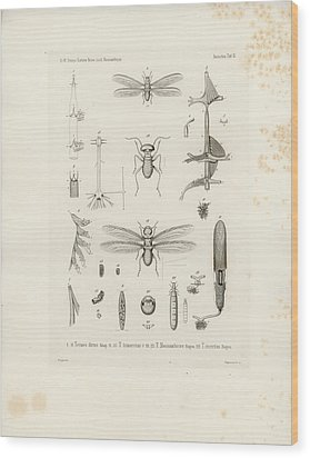 African Termites And Their Anatomy Wood Print by W Wagenschieber