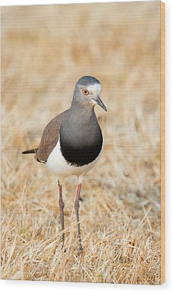 African Wattled Lapwing Vanellus Wood Print by Panoramic Images