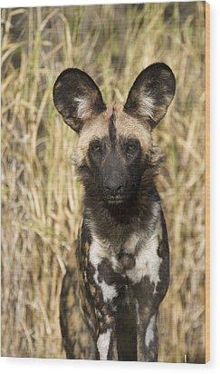 African Wild Dog Okavango Delta Botswana Wood Print by Suzi Eszterhas