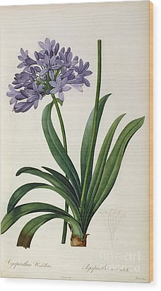 Agapanthus Umbrellatus Wood Print by Pierre Redoute