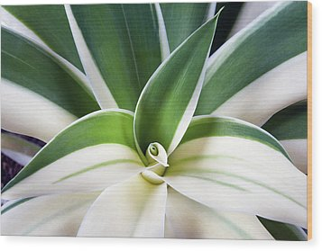 Agave Ray Of Light Wood Print by Catherine Lau