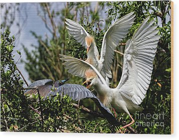 Aggression Between Cattle Egrets And Tricolored Heron Wood Print