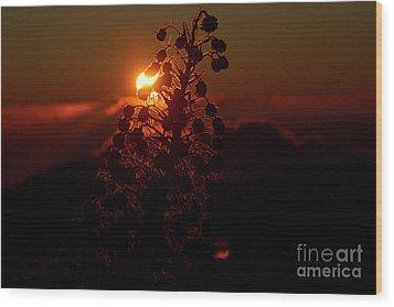 Wood Print featuring the photograph Ahinahina - Silversword - Argyroxiphium Sandwicense - Sunrise by Sharon Mau