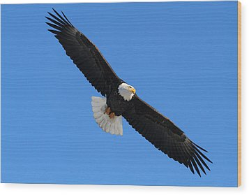 Alaska Bald Eagle Wood Print by Doug Lloyd