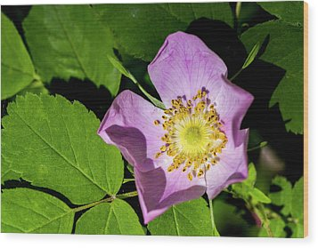Wood Print featuring the photograph Alberta Wild Rose Opens For Early Sun by Darcy Michaelchuk