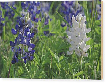 Albino And Blue Bluebonnet Wood Print by Robyn Stacey