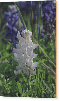 Albino Bluebonnet Wood Print by Robyn Stacey