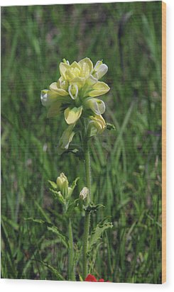 Albino Texas Paintbrush Wood Print