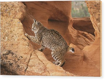 Alert Bobcat Wood Print by Larry Allan